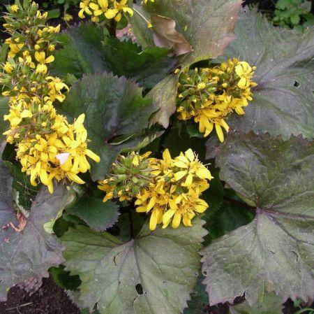 Ligularia-hessei.jpg