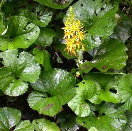 Ligularia-hodgsonii.jpg