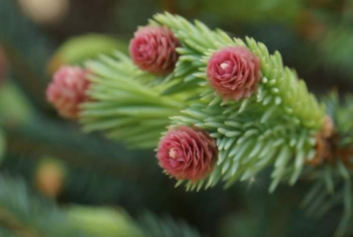 Pice-pungens-Hermann-Naue-kwiaty.jpg