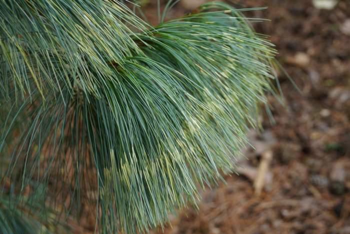 Pinus-wallichiana-zebrina-igly.jpg