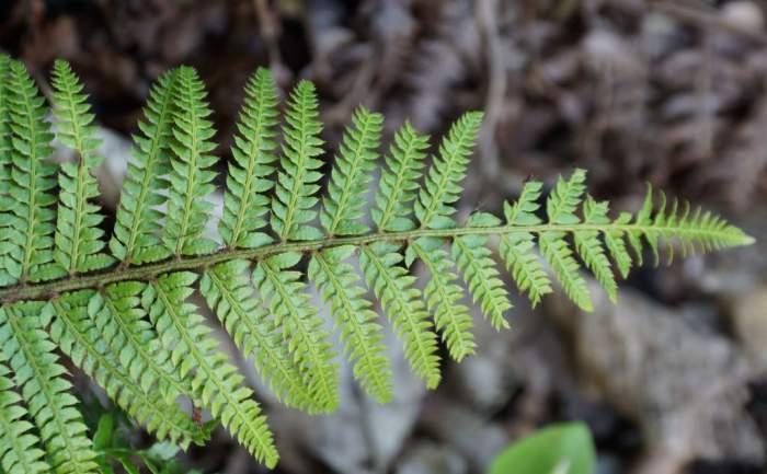Polystichum-polyblepharum-Jade-mlody-lisc.jpg