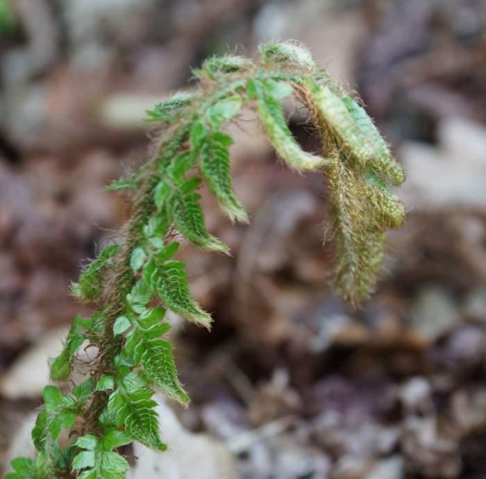Polystichum-polyblepharum-Jade-pastoralek.jpg