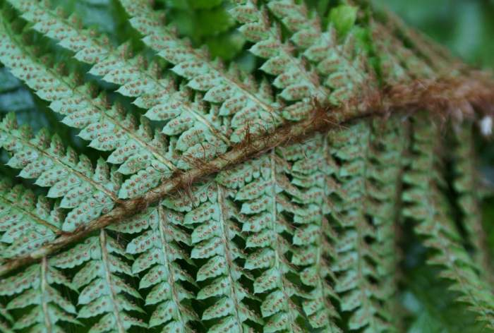 Polystichum-polyblepharum-Jade-zarodniki.jpg