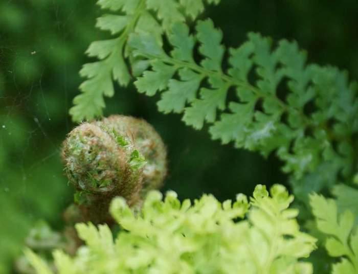 Polystichum-setiferum-Cristatum-pastoralek.jpg