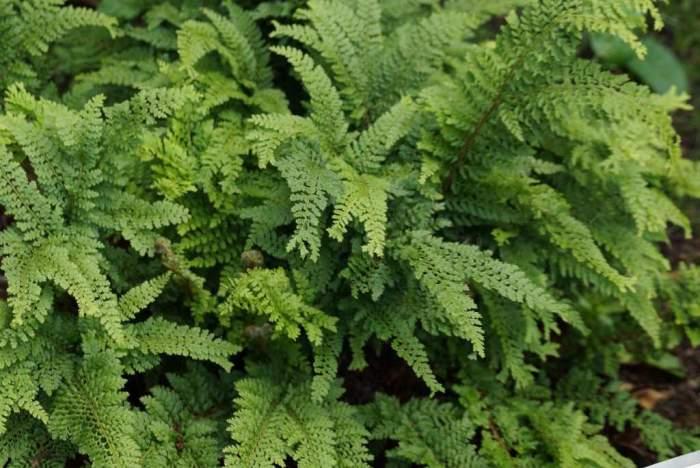 Polystichum-setiferum-Cristatum.jpg