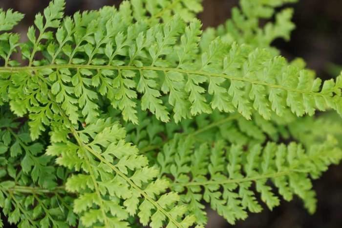 Polystichum-setiferum-Cristatum1.jpg