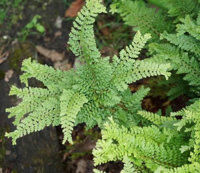 Polystichum-setiferum-Cristatum11.jpg