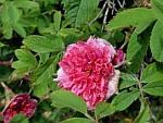 R-cinnamomea-plena.jpg