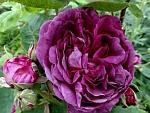 Reine-des-Violettes.jpg