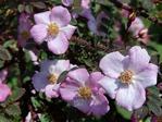 Rosa-elegantula-Persetosa.JPG