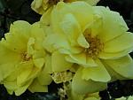 Rosa-harisonii.jpg