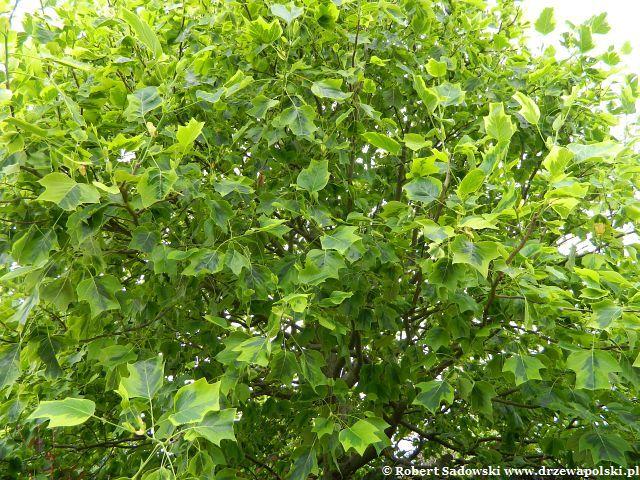 Tulipanowiec_amerykanski_Aureomarginatum_view.jpg