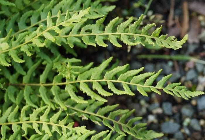 Woodsia-polystichoides-liscie.jpg