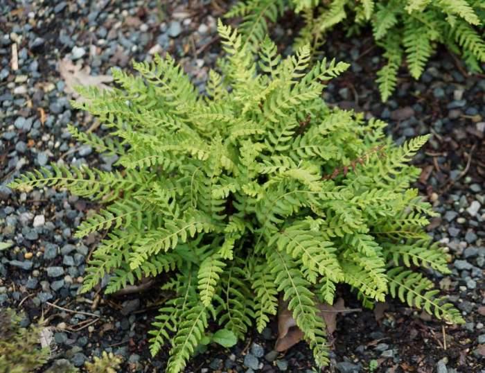 Woodsia-polystichoides.jpg
