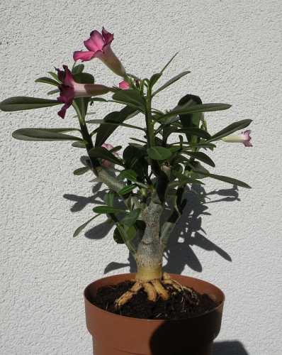 adenium-kwiat.jpg
