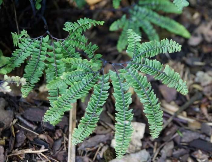 adiantum-pedatum-imbriicatum-liscie1.jpg