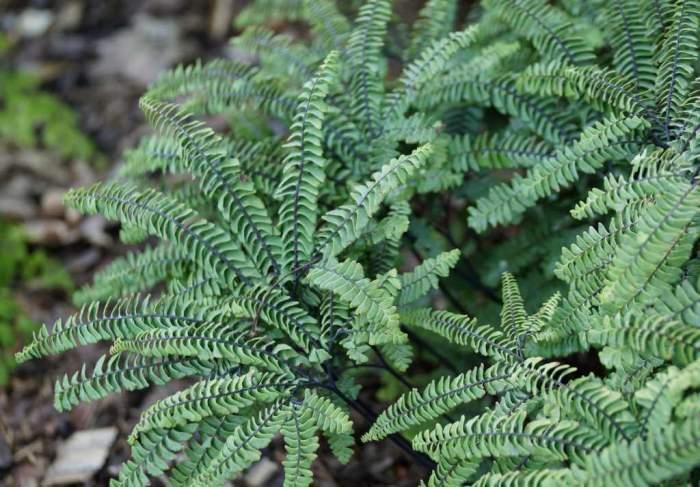 adiantum-pedatum-imbriicatum2.jpg