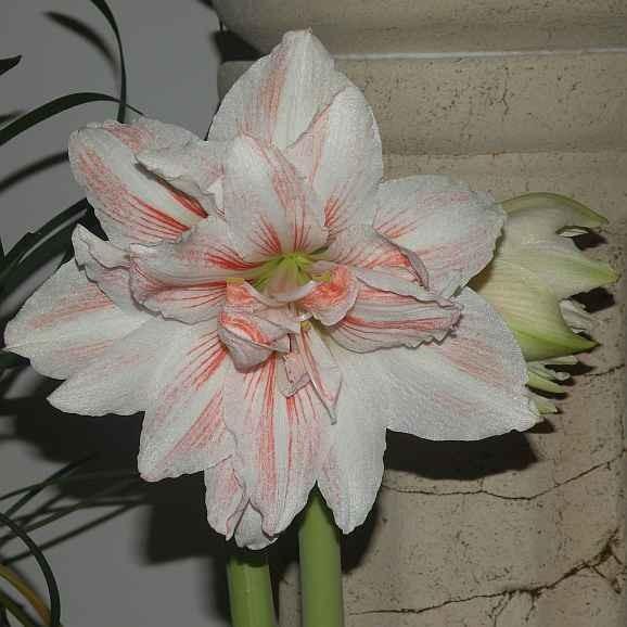 amarylis-kwiat.jpg