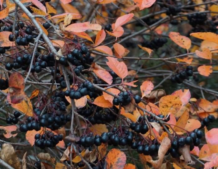 aronia-jesien.jpg