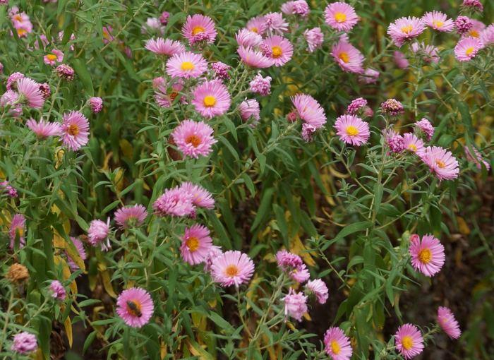 aster-nowoangielski-shakespeare-kwiaty.jpg