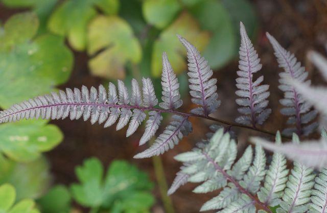 athyrium-japonicum-rozowe-liscie.jpg
