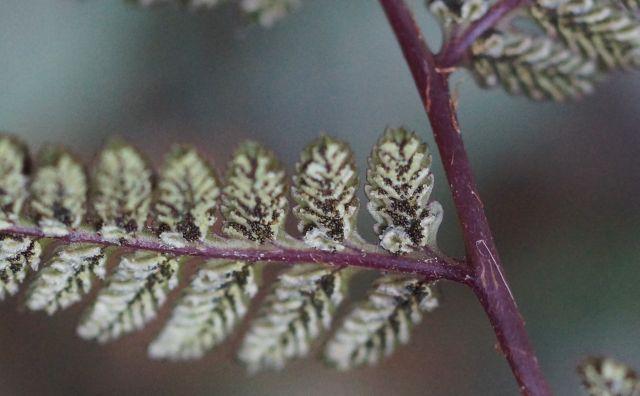athyrium-japonicum-zarodniki.jpg