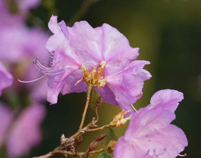azalia-kwiat-1.jpg