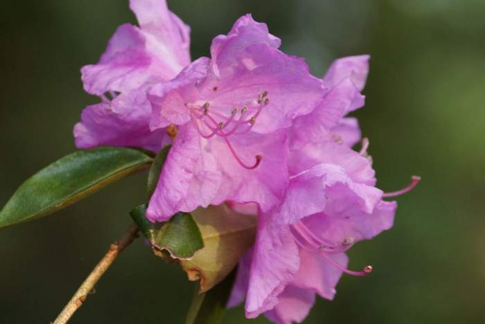azalia-kwiat-2.jpg