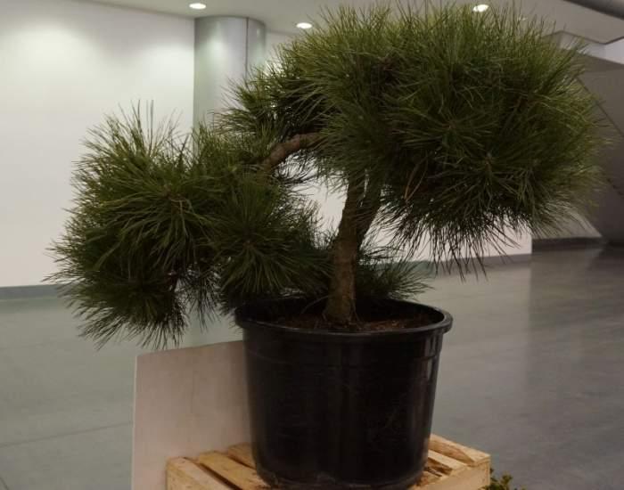 bonsai-gardenia.jpg