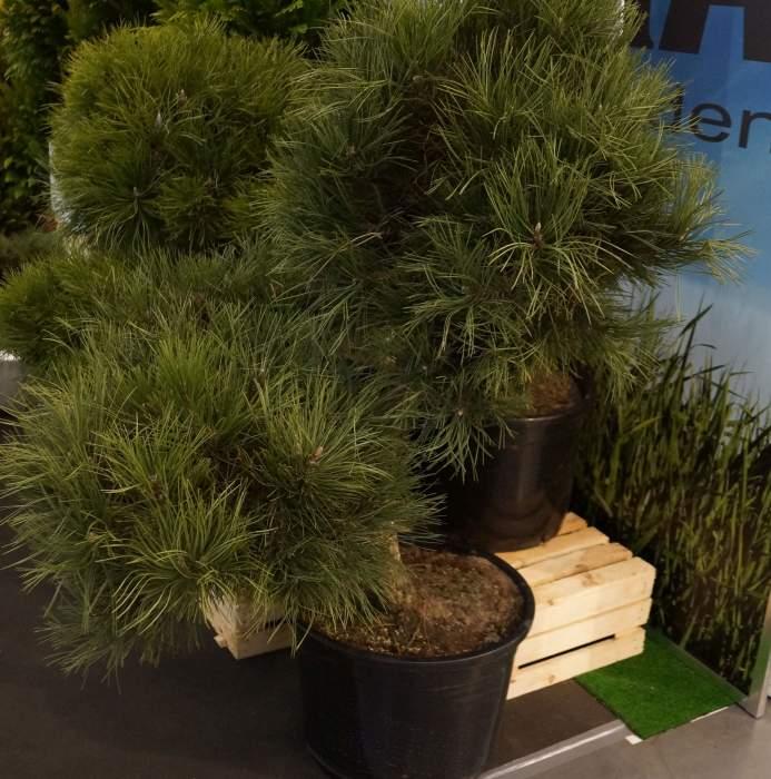 bonsai-gardenia1.jpg