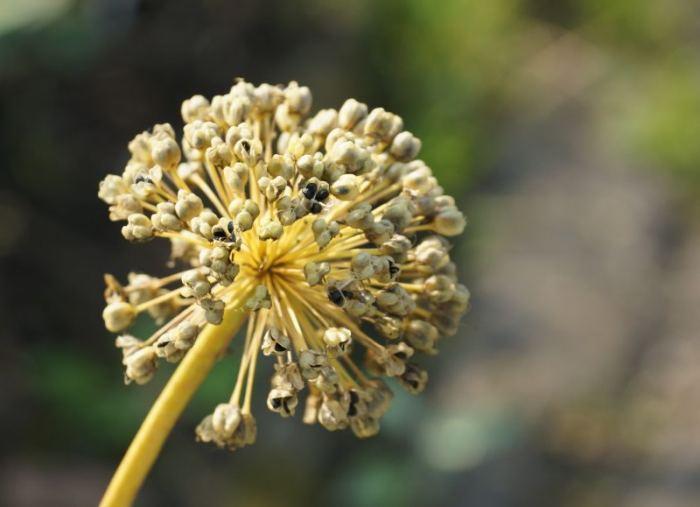 czosnek-nasiona.jpg