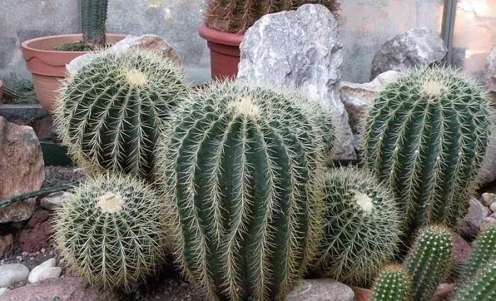 echinocereus.jpg