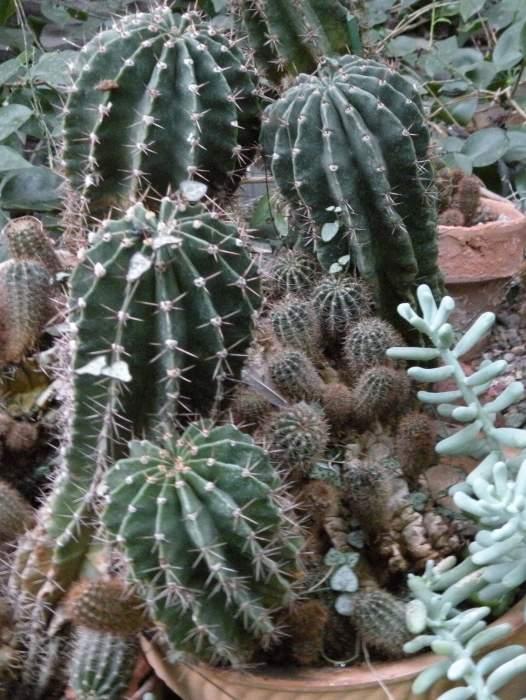 echinopsis-eyriesii.jpg