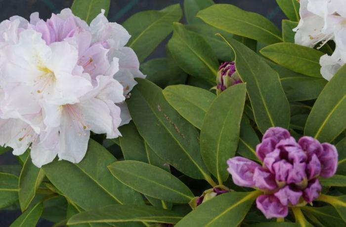 eskimo-rododendron.jpg