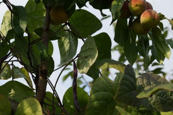 fasolka-szparagowa-brzoskwinia.jpg