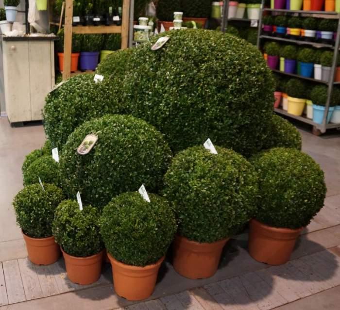 gardenia-bukszpany-topiary.jpg