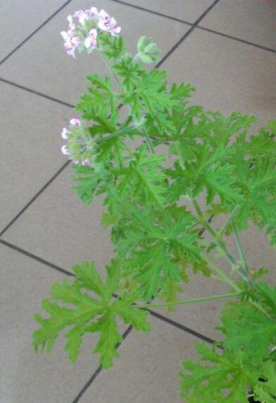 geranium-kwiaty.jpg
