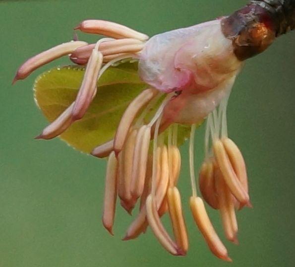 grujecznik-japonski-kwiaty1.jpg