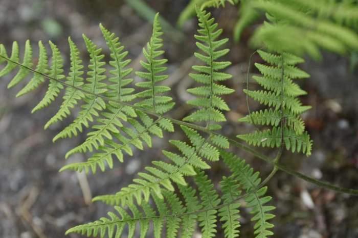 gymnocarpium-robertianum-lisc.jpg