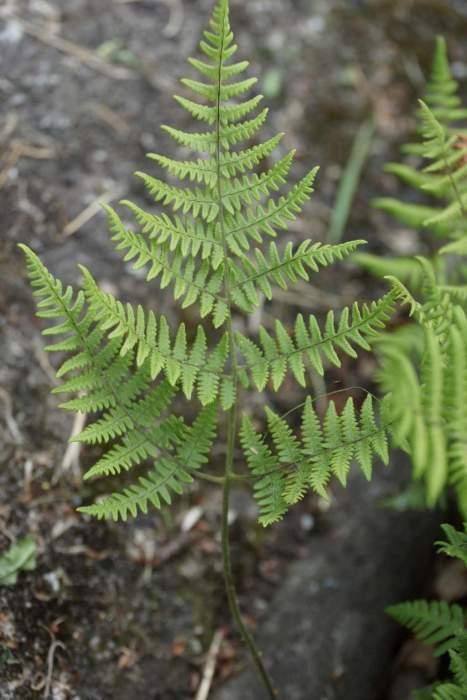 gymnocarpium-robertianum-lisc1.jpg