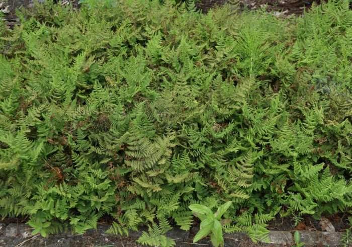 gymnocarpium-robertianum.jpg