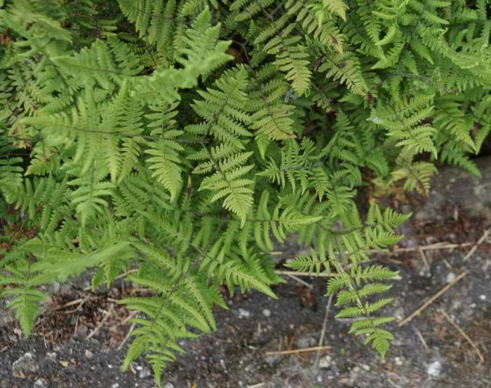 gymnocarpium-robertianum1.jpg