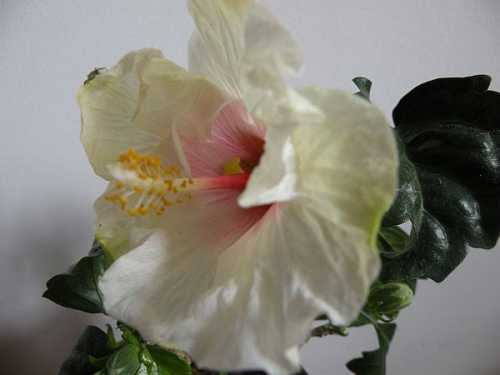 hibiscus-bialy.jpg