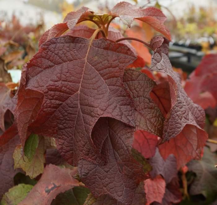 hortensja-debolistna-jesien.jpg