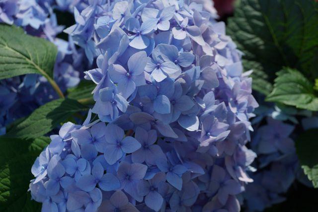 hortensja-ogrodowa-camerun-blue.jpg