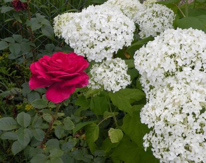 hortensja-roza.jpg