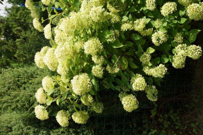 hortensja-wielki-krzew.jpg