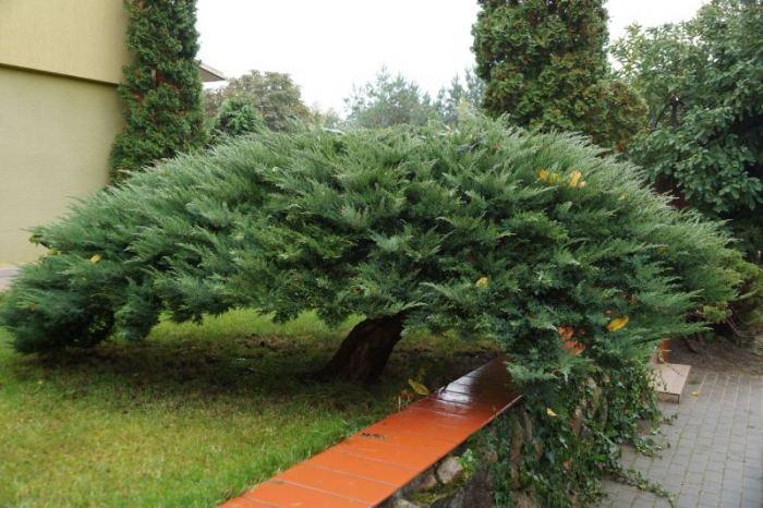 jalowiec-bonsai.jpg