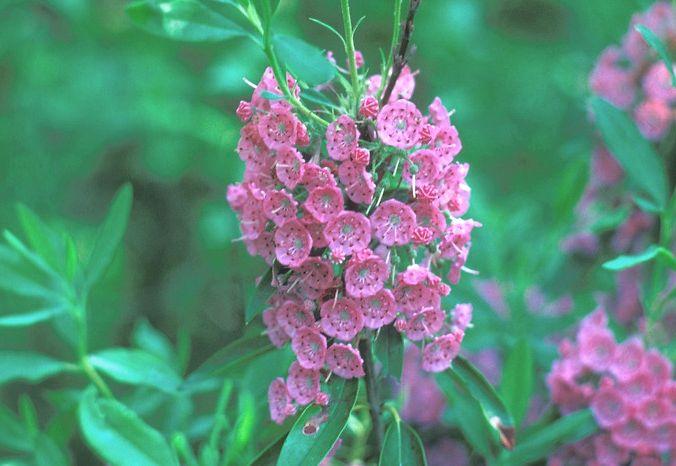 kalmia-angustifolia-kwiaty.jpg
