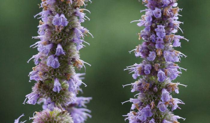 klosowiec-kwiaty.jpg